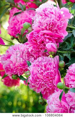 Beautiful Blooming Pink Peony Bush