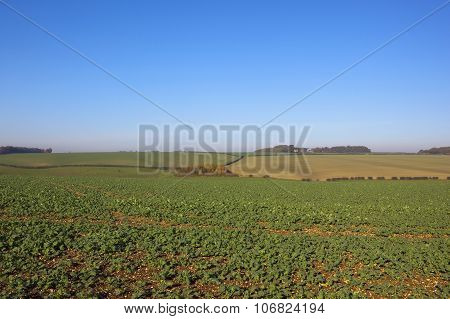 Young Canola Crop