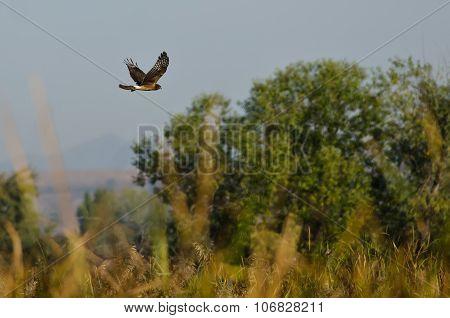 Northern Harrier Flying Over The Marsh