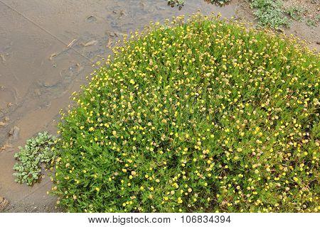 Buttonweed - Invasive Species