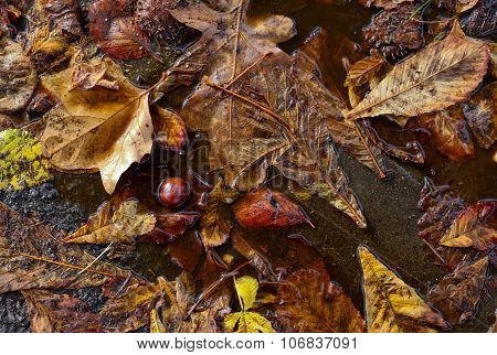 Horse Chestnut Conkers Autumn Leaves Shells In Rain Puddle