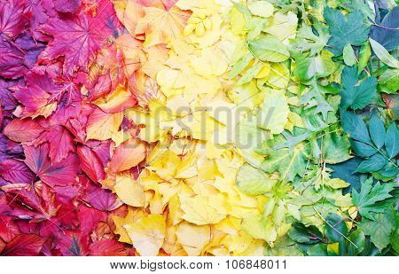 Natural color palette made of autumn leaves arranged in rainbow order