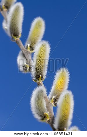 Wild bush goat willow (Salix caprea L.)