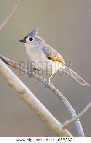 Wild Tufted Titmouse Bird