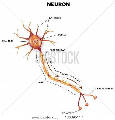 Labeled Diagram Of The Neuron
