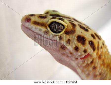 Gecko Face