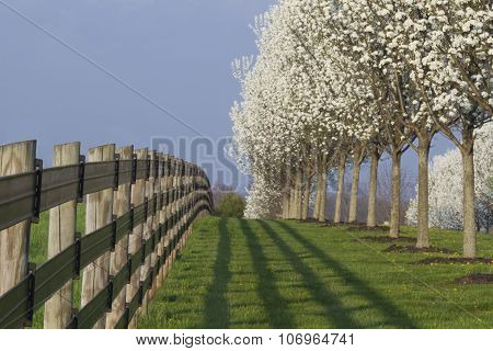 Blooming Dogwood Trees And Fence