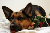 german shepherd between christmas decoration ,tired and sticking out his tongue poster