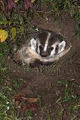 North American Badger (Taxidea taxus) Peers Out from Den - captive animal poster