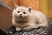 close-up little british lilac kitten lying on a laptop poster