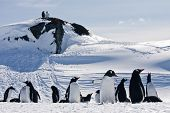 a large group of penguins having fun in the snowy hills of the Antarctic poster