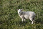 a sheep on a hill in late afternoon standing in the grass in ireland poster