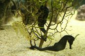 2 sea horses hiding behind under water plants poster