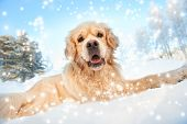 Lovely golden retriever playing in the snow poster