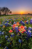 Texas wildflower - bluebonnet and indian paintbrush field at sunset in Spring poster