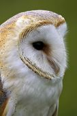 Barn owl, close-up poster