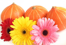 Three pumpkins and three colorful Gerbera daisies on white background