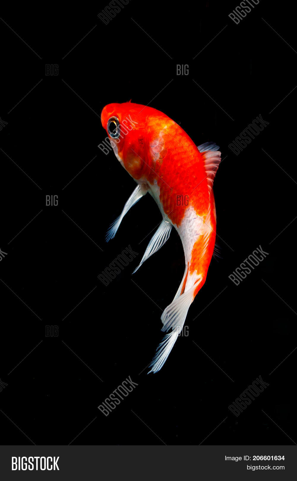 Koi Fish Isolated On Image & Photo (Free Trial) | Bigstock