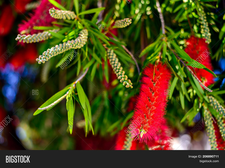 Red Bottlebrush Tree Image Photo Free Trial Bigstock