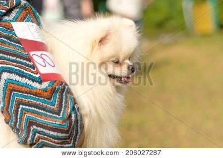 American Eskimo Spitz is a decorative breed of dogs. Space under the text. 2018 year of the dog in the eastern calendar Concept: parodist dogs, dog friend of man, true friends, rescuers.