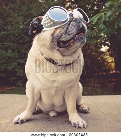 an adorable pug sitting in a park with aviator goggles on toned with a vintage retro instagram filter