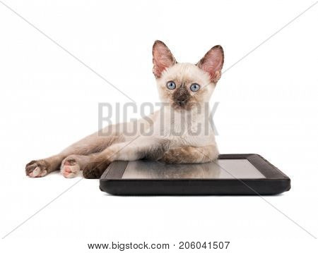 Tortie point Siamese kitten lying down with her front paws on a tablet computer, looking up, on white