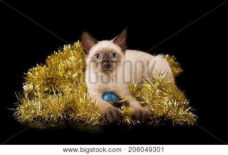 Adorable Siamese kitten in gold tinsel, on black background