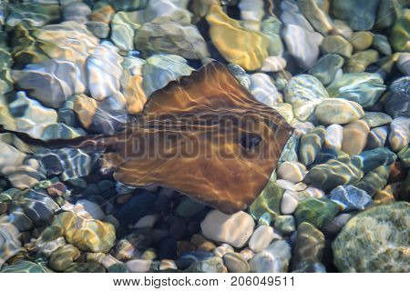 Small stingray swims in shallow water in clear sea salt water in summer