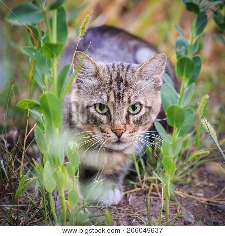 Striped cat is hunting in the grass