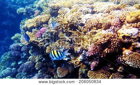 Tropical fish and colorful coral reef underwater shot. Red sea coral reef underwater nature wild life.
