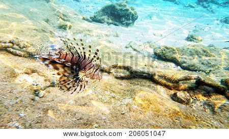 Tropical fish red lionfish and coral reef underwater shot. Red sea coral reef underwater nature wild life.