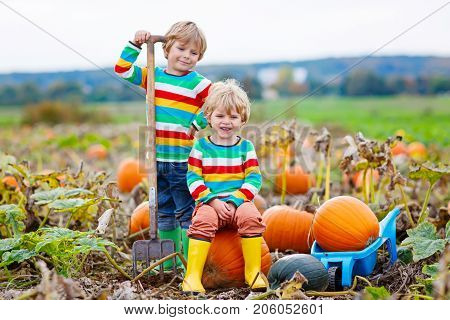 Two little kids boys picking pumpkins on Halloween pumpkin patch. Children playing in field of squash. Kids pick ripe vegetables on a farm in Thanksgiving holiday season. Family having fun in autumn.