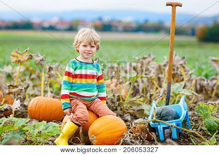 Adorable little kid boy picking pumpkins on Halloween pumpkin patch. Child playing in field of squash. Kid pick ripe vegetables on a farm in Thanksgiving holiday season. Family having fun in autumn.