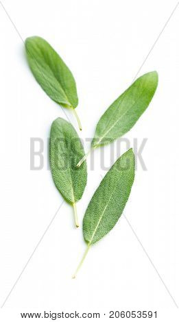 Salvia officinalis. Sage leaves isolated on white background. Garden sage.