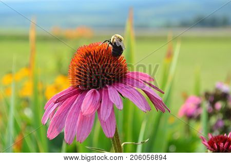 Bumblebee pollinating pink coneflower in a colorful garden