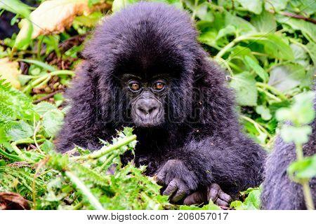 Wide eyed baby mountain gorilla in the undergrowth