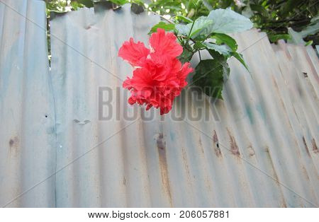 Hibiscus flowers on the walls of the old zinc