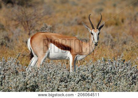 A springbok antelope (Antidorcas marsupialis) in natural habitat, Etosha National Park, Namibia