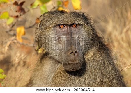 Portrait of a male chacma baboon (Papio ursinus), Kruger National Park, South Africa