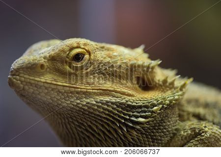 Pogona Vitticeps With Light Green Skin. Bearded Dragon