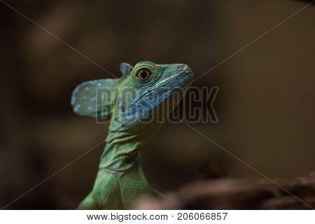 Blue Lizard In Nature, Selective Focus. Basiliscus Plumifrons