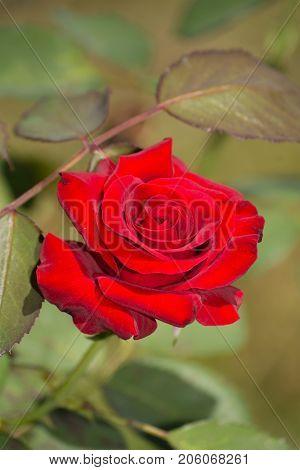 Deep red, velvety rose in summer garden