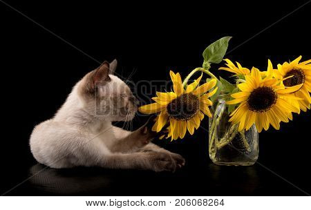 Siamese kitten pulling a sunflower with his paw, on black background