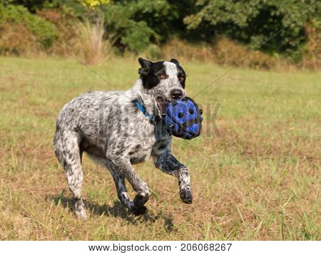 Texas Heeler running fast carrying a ball in her mouth