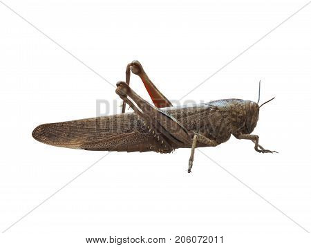 Grasshopper Insect Animal Isolated Over White