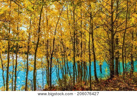 Picturesque turquoise Abraham Lake in a flood. The flooded coastal gold aspen grove. Journey to the Golden Autumn in Rocky Mountains. The concept of ecological and active touris