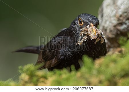 Very close up head photo of a male blackbird with its beak filled with food on seeds and other tasty bits.