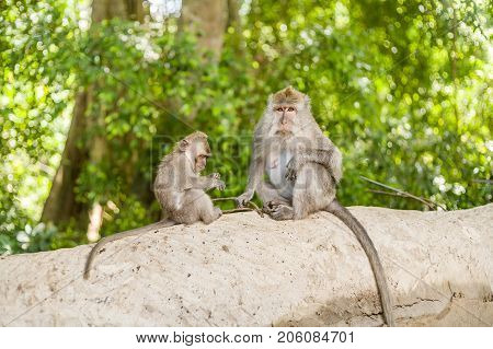 Monkeys in Ubud Monkey Forest, Bali, Indonesia.