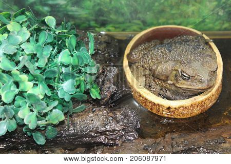 Green Large Toad