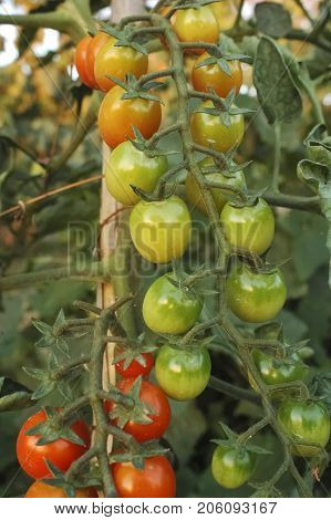 View of tomatoes grown in a horticulture